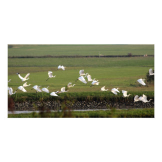 Synchronic flying of Great Egrets. Photo Greeting Card