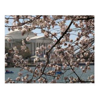 The Cherry Blossoms In Bloom In Washington DC Postcard