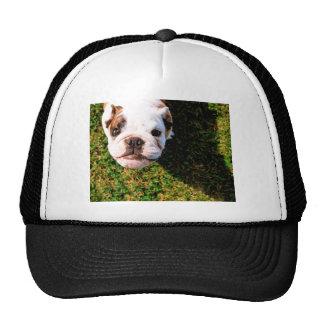 The cutest Bulldog ever!!! Cap