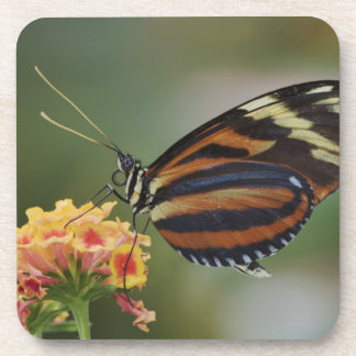 Tiger butterfly, Heliconius ismenius Coasters
