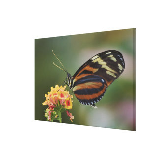 Tiger butterfly, Heliconius ismenius Stretched Canvas Print