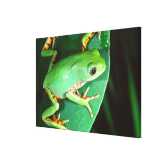 Tiger Leg Monkey Frog, Phyllomedusa Gallery Wrapped Canvas