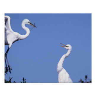 Two Great Egrets (Ardea alba) in a courtship Poster