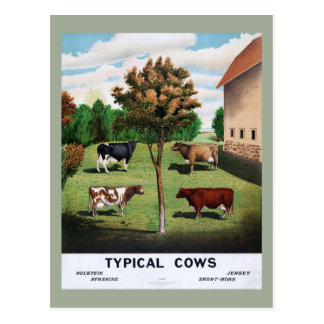 Typical Cows Poster Postcard