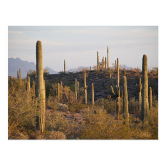 USA, Arizona, Sonoran Desert, Ajo, Ajo 2 Postcard