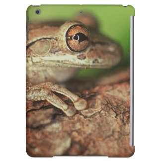 USA, Florida, Cuban Tree Frog.