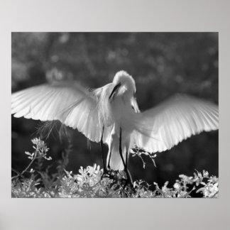 USA, Florida, Great Egret (Ardea alba) infrared 2 Poster