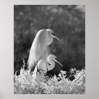 USA, Florida, Great Egret (Ardea alba) infrared Poster