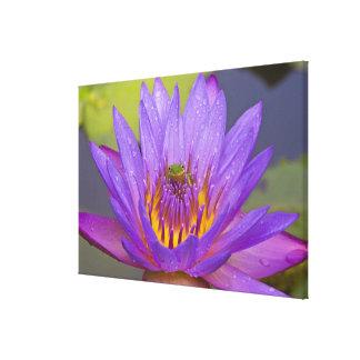USA, Florida, Lake Kissimmee. Green leaf frog Gallery Wrap Canvas