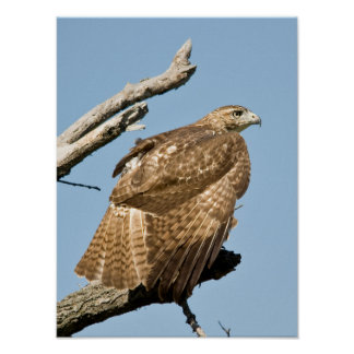 USA, Kansas, Red Tailed Hawk Preening In Tree Poster