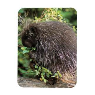 USA, Montana, Kalispell. Porcupine and rose hips Rectangular Photo Magnet