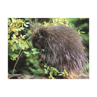 USA, Montana, Kalispell. Porcupine and rose hips Stretched Canvas Prints