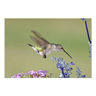 USA, Texas, Hill Country. Female black-chinned Art Photo