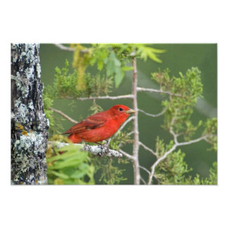 USA, Texas, Hill Country. Male summer tanager Photograph