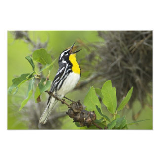 USA, Texas, Hill Country. Male yellow-throated Art Photo
