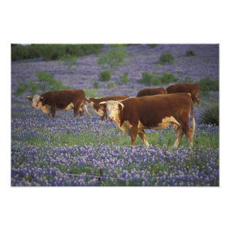 USA, Texas, Texas Hill Country, Hereford Photographic Print