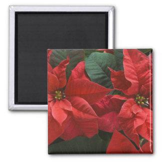 USA, WA, Red Poinsettia Detail (Euphorbia Square Magnet