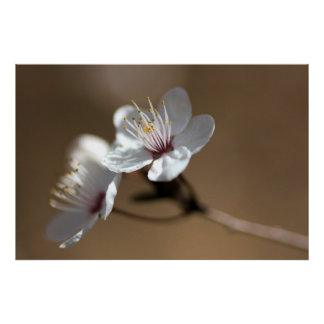 White flowers on a brown background poster