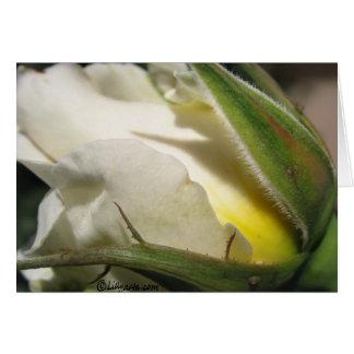 White Rose Bud Card