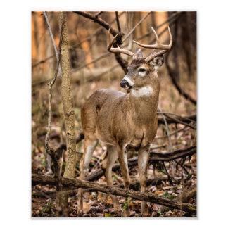 White Tail Deer Buck Photographic Print