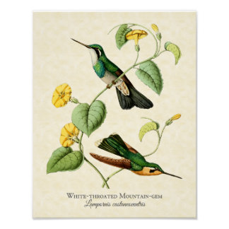 White Throated Mountain Gem Hummingbird Art Print
