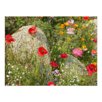 Wild Poppies Floral Poster