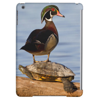 Wood Duck male standing on Red-eared Slider