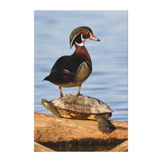Wood Duck male standing on Red-eared Slider Canvas Prints