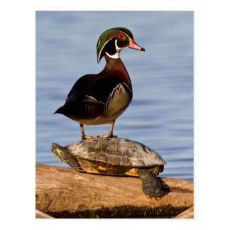 Wood Duck male standing on Red-eared Slider Postcard