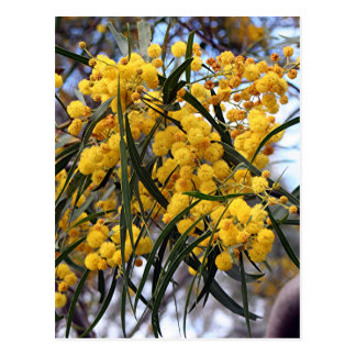 Yellow Australian wattle tree blossoms Postcard