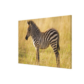 Young Plains Zebra Equus quagga) in grass, Gallery Wrapped Canvas