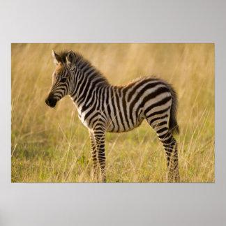 Young Plains Zebra Equus quagga) in grass, Poster