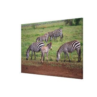 Zebras on the Serengetti Plains, Equus quagga, Gallery Wrapped Canvas